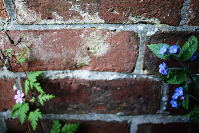 Herb Robert and Green Alkanet